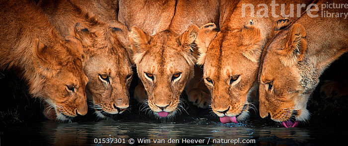 Lions (Panthera leo) five drinking together, Ndutu, Tanzania  ,  Animal,Wildlife,Vertebrate,Mammal,Carnivore,Cat,Big cat,Lion,Animalia,Animal,Wildlife,Vertebrate,Mammalia,Mammal,Carnivora,Carnivore,Felidae,Cat,Panthera,Big cat,Panthera leo,Thirsty,Thirst,Group,Medium Group,Africa,East Africa,Tanzania,Horizontal,Panoramic,Close Up,Animal Behaviour,Social behaviour,Drinking,Lion,Lake Ndutu,Ngorongoro,Animals,Vertebrates,Chordates,Mammals,Carnivores,Cats,Big cats,Groups,Closeups,Close-ups,Lions,Close ups,Animal,Wildlife,Vertebrate,Mammal,Carnivore,Cat,Big cat,Lion,high16  ,  Wim van den Heever