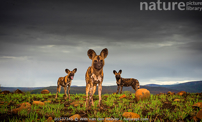 African Wild dogs or Cape hunting dogs (Lycaon pictus) at close range taken from ground level, Zimanga Private Game Reserve, South Africa.  ,  Animal,Wildlife,Vertebrate,Mammal,Carnivore,Canid,Dog,African Wild Dog,Animalia,Animal,Wildlife,Vertebrate,Mammalia,Mammal,Carnivora,Carnivore,Canidae,Canid,Lycaon,Dog,Lycaon pictus,African Wild Dog,Cape Hunting Dog,Painted Hunting Dog,Resting,Rest,Atmospheric Mood,Curiosity,Few,Three,Group,Africa,Southern Africa,South Africa,Horizontal,Low Angle View,Portrait,Grounds,Ground,Plain,Plains,Sky,Cloud,Weather,Storm,Grassland,Bad Weather,Reserve,Severe weather,Protected area,Direct Gaze,South African,Animals,Vertebrates,Chordates,Mammals,Carnivores,Canids,Dogs,Groups,Portraits,Skies,Clouds,Grasslands,Reserves,Packs,Animal,Wildlife,Vertebrate,Mammal,Carnivore,Canid,Dog,African Wild Dog,high16,,eye contact,  ,  Wim van den Heever