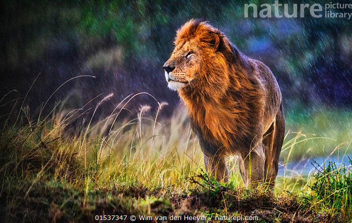 Lion (Panthera leo) male standing in cold and rain with strong wind blowing, smelling the air, Masai Mara National Reserve, Kenya, Animal,Wildlife,Vertebrate,Mammal,Carnivore,Cat,Big cat,Lion,Animalia,Animal,Wildlife,Vertebrate,Mammalia,Mammal,Carnivora,Carnivore,Felidae,Cat,Panthera,Big cat,Panthera leo,Smelling ,Sniffing,Atmospheric Mood,Majestic,Pride,Proud,Africa,East Africa,Kenya,Horizontal,Portrait,Male Animal,Windy,Weather,Raining,Rain,Nobility,Monarchy,Royalty,Reserve,Arty shots,Lion,Protected area,Using Senses,Animals,Vertebrates,Chordates,Mammals,Carnivores,Cats,Big cats,Portraits,Males,Male Animals,Rains,Lions,Reserves,Animal,Wildlife,Vertebrate,Mammal,Carnivore,Cat,Big cat,Lion,catalogue9, Wim van den Heever