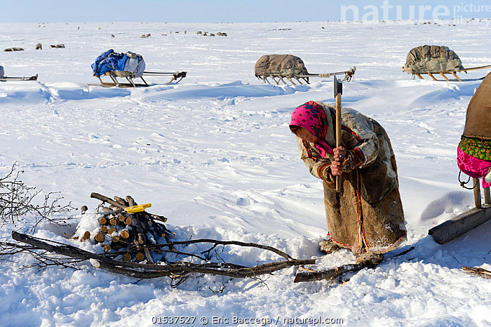 Nenet woman chopping willow (Salix genus) at camp for firewood. Yar-Sale district. Yamal, Northwest Siberia, Russia. April  2016.  ,  Cutting,Chopping,People,Woman,Chores,Chore,Task,Tasks,1 Person,Russia,Siberia,Animal,Plant,Tree,Deciduous,Willow,Willows,Clothing,Headdress,Headscarf,Land Vehicle,Animal Drawn,Sleigh,Firewood,Culture,Indigenous Culture,Russian Culture,Tundra,Domesticated,Tribes,Siberian culture,Yamal Peninsula,  ,  Eric Baccega