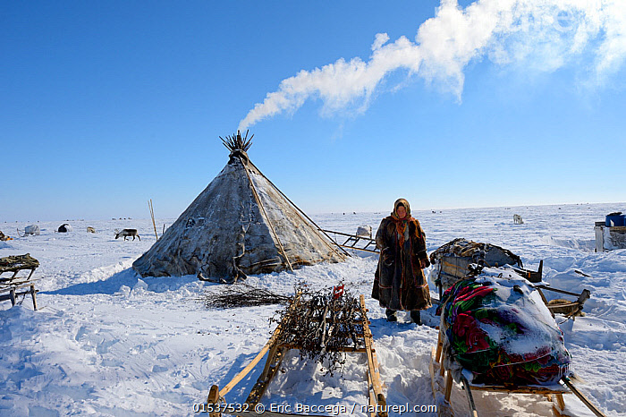 Nenet woman looking for willow (Salix genus) used as firewood at camp on tundra. Yar-Sale district. Yamal, Northwest Siberia, Russia. April 2016.  ,  Standing,People,Woman,Chores,Chore,Task,Tasks,1 Person,Temperature,Cold,Russia,Siberia,Animal,Plant,Tree,Deciduous,Willow,Willows,Tent,Tepee,Teepee,Teepees,Tepees,Wigwam,Wigwams,Land Vehicle,Animal Drawn,Sleigh,Firewood,Sky,Smoke,Snow,Culture,Indigenous Culture,Russian Culture,Tundra,Domesticated,Tribes,Blue sky,Siberian culture,Yamal Peninsula,Provisions,  ,  Eric Baccega