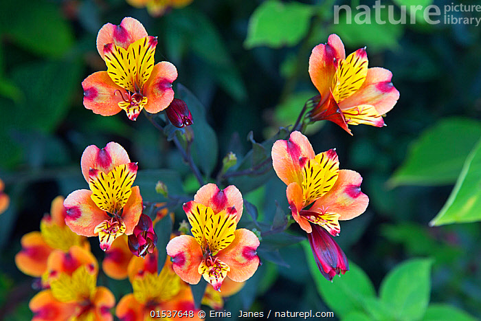 Peruvian lily 'Indian Summer' (Alstroemeria) cultivated flower in garden.  ,  Plant,Vascular plant,Flowering plant,Monocot,Peruvian lily,Peruvian lilies,Lily of the Incas,Plantae,Plant,Tracheophyta,Vascular plant,Magnoliopsida,Flowering plant,Angiosperm,Seed plant,Spermatophyte,Spermatophytina,Angiospermae,Liliales,Monocot,Monocotyledon,Lilianae,Alstroemeriaceae,Colour,Yellow,Europe,Western Europe,UK,Great Britain,England,Flower,Flowers,Alstroemeria,Peruvian lily,Peruvian lilies,Lily of the Incas,Yellow Colour,  ,  Ernie  Janes
