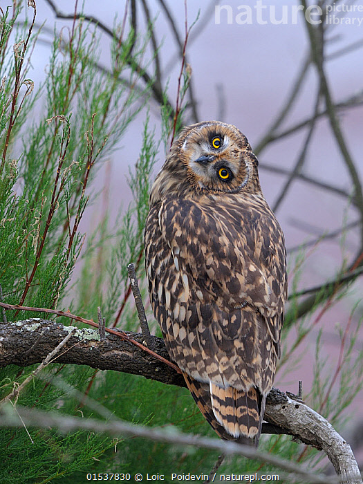 Nature Picture Library - Short eared owl (Asio flammeus
