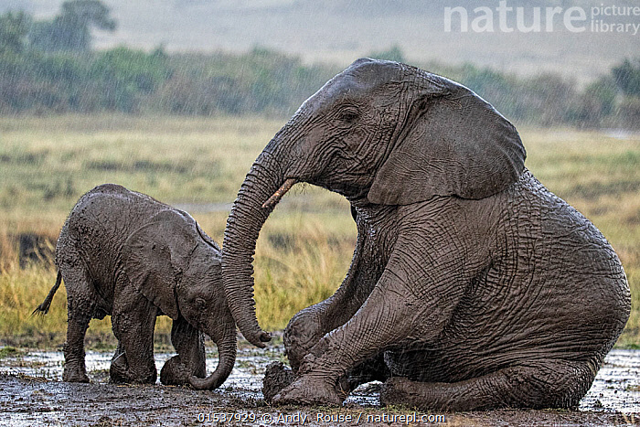 African Elephant (Loxodonta africana) mother and calf in rain, wallowing in mud. Maasai Mara, Kenya, Africa. September.  ,  Animal,Wildlife,Vertebrate,Mammal,Elephant,African elephants,African elephant,Animalia,Animal,Wildlife,Vertebrate,Mammalia,Mammal,Proboscidea,Elephantidae,Elephant,Loxodonta,African elephants,Loxodonta africana,African elephant,Covering,Sitting,Touching,Enjoyment,Two,Wet,Affectionate,Affection,Africa,East Africa,Kenya,Side View,Young Animal,Baby,Baby Mammal,Calf,Female animal,Animal Nose,Elephant Trunk,Mud,Muddy,Weather,Raining,Rain,Habitat,Animal Behaviour,Wallowing,Family,Mother baby,Mother,Two animals,Parent baby,Sitting on Ground,Animals,Vertebrates,Chordates,Mammals,Elephants,Juveniles,Young Animals,Baby Animals,Calves,Animal Noses,Noses,Elephant Trunks,Rains,Families,Trunks,Babies,Female Animals,Wallows,Animal,Wildlife,Vertebrate,Mammal,Elephant,African elephants,African elephant,high16  ,  Andy  Rouse