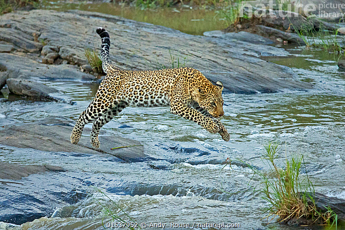 African Leopard (Panthera pardus) jumping across river
