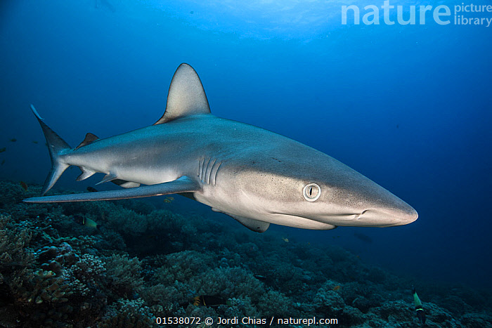 Nature Picture Library - Galapagos shark (Carcharhinus