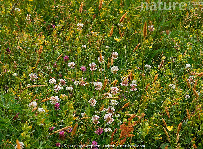 Grass meadow in flower with White clover (Trifolium repens) Red clover (Trifolium pratense)  and Yellow rattle (Rhinanthus minor) Sussex, UK  ,  Plant,Vascular plant,Flowering plant,Asterid,Broomrape family,Yellow rattle,Plantae,Plant,Tracheophyta,Vascular plant,Magnoliopsida,Flowering plant,Angiosperm,Seed plant,Spermatophyte,Spermatophytina,Angiospermae,Lamiales,Asterid,Dicot,Dicotyledon,Asteranae,Orobanchaceae,Broomrape family,Broomrape,Rhinanthus,Yellow rattle,Rattleweed,Europe,Western Europe,UK,Great Britain,England,Horizontal,Wildflower,Wildflowers,Flower,Flowers,Grassland,Meadow,Meadows,Habitat,Mixed species,Sussex,  ,  Stephen  Dalton