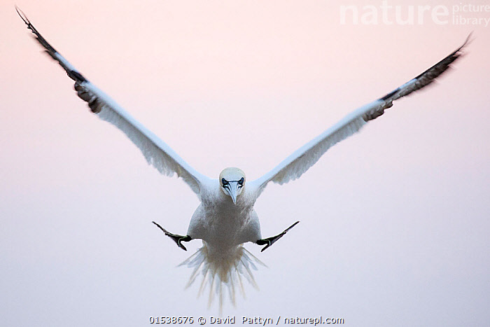 Gannet (Morus bassanus) coming in to land in the colony in evening light, Great Saltee, Saltee Islands, County Wexford, Ireland, June, Animal,Wildlife,Vertebrate,Bird,Birds,Phalacrocoraciformes,Sulid,Gannet,Northern gannet,Animalia,Animal,Wildlife,Vertebrate,Aves,Bird,Birds,Suliformes,Phalacrocoraciformes,Sulidae,Sulid,Morus,Gannet,Morus bassanus,Northern gannet,North Atlantic gannet,Atlantic gannet,Sula bassana,Flying,Landing,Concentration,Humorous,Precision,Precise,Group Of Animals,Group,Europe,Western Europe,Republic Of Ireland,Copy Space,Cutout,Horizontal,Front View,Wing,Island,Islands,Twilight,Evening,Negative space,Animals,Vertebrates,Chordates,Sulids,Gannets,Groups,Copy Spaces,Wings,Animal,Wildlife,Vertebrate,Bird,Birds,Phalacrocoraciformes,Sulid,Gannet,Northern gannet, catalogue9, David  Pattyn