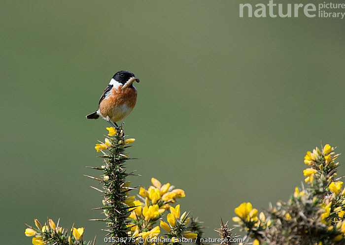 Male Stonechat (Saxicola rubicola) on gorse with grub in beak. Abersoch, Wales, UK. May., Animal,Arthropod,Insect,Vertebrate,Bird,Birds,Songbird,Old world flycatcher,Chat,Stonechat,Animalia,Animal,Wildlife,Hexapoda,Arthropod,Invertebrate,Hexapod,Arthropoda,Insecta,Insect,Vertebrate,Aves,Bird,Birds,Passeriformes,Songbird,Passerine,Muscicapidae,Old world flycatcher,Flycatcher,Saxicola,Chat,Chat thrush,Saxicolinae,Saxicola rubicola,Stonechat,Common stonechat,Collared bush chat,Saxicola torquata,Balance,Colour,Yellow,Two,Europe,Western Europe,UK,Great Britain,Wales,Copy Space,Male Animal,Plant,Flower,Flowers,Habitat,Two animals,Negative space,Holding in mouth,Yellow Colour,, Graham Eaton