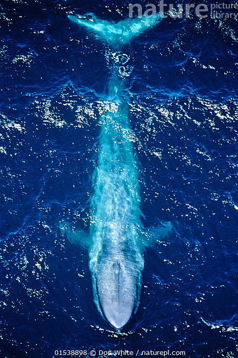 Blue whale (Balaenoptera musculus) aerial view off the coast of California, USA. Pacific Ocean.  ,  Animal,Wildlife,Vertebrate,Mammal,Ceteacean,Blue Whale,American,Baleen whale,Animalia,Animal,Wildlife,Vertebrate,Mammalia,Mammal,Cetacea,Ceteacean,Balaenopteridae,Balaenoptera,Balaenoptera musculus,Blue Whale,Balaenoptera sulfurous,Majestic,Mystery,Colour ,Blue,Size,Giant,Huge,Massive,North America,USA,Western USA,Southwest USA,California,Aerial View,High Angle View,Ocean,Pacific Ocean,Marine,Water,Saltwater,Elevated view,Surface,American,United States of America,Baleen whale,Animals,Vertebrates,Chordates,Mammals,Cetaceans,Aerial Shots,Aerials,Oceans,Colours,Colors,Baleen whales,Animal,Wildlife,Vertebrate,Mammal,Ceteacean,Blue Whale,American,Baleen whale, catalogue9  ,  Doc White