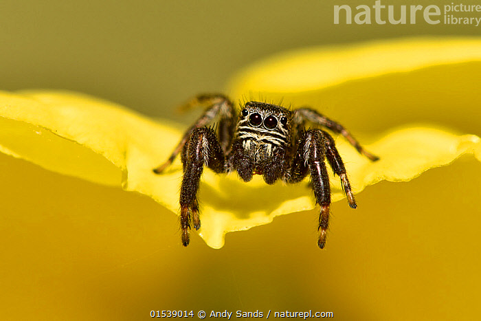 Jumping spider (Evarcha arcuata) on edge of evening primrose flower, Surrey, England, UK, August  ,  Animal,Wildlife,Arthropod,Arachnid,Spider,Jumping spider,Animalia,Animal,Wildlife,Chelicerata,Arthropod,Chelicerate,Arthropoda,Arachnida,Arachnid,Aranae,Spider,Salticidae,Jumping spider,Evarcha,Evarcha arcuata,Evarcha marccgravii,Hasarius farinosus,Colour ,Yellow,Size,Small,Europe,Western Europe,UK,Great Britain,England,Surrey,Portrait,Animal Eye,Eyes,Invertebrate,Animals,Arthropods,Chelicerates,Arachnids,Spiders,Jumping spiders,Portraits,Invertebrates,Colours,Colors,Animal,Wildlife,Arthropod,Arachnid,Spider,Jumping spider, catalogue9  ,  Andy Sands