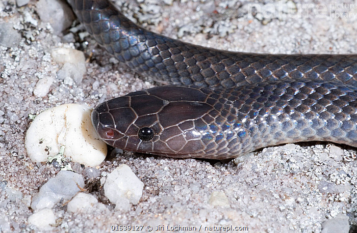 Small-eyed snake (Cryptophis nigrescens), Expedition National Park, Queensland, Australia, May.  ,  Animal,Vertebrate,Reptile,Squamate,Elapid,Small-eyed snake,Animalia,Animal,Wildlife,Vertebrate,Reptilia,Reptile,Squamata,Squamate,Elapidae,Elapid,Snake,Australasia,Australia,Queensland,Close Up,Reserve,Venomous,Venom,Protected area,National Park,Cryptophis,Cryptophis nigrescens,Small-eyed snake,Eastern small-eyed snake,Venomous  ,  Jiri Lochman