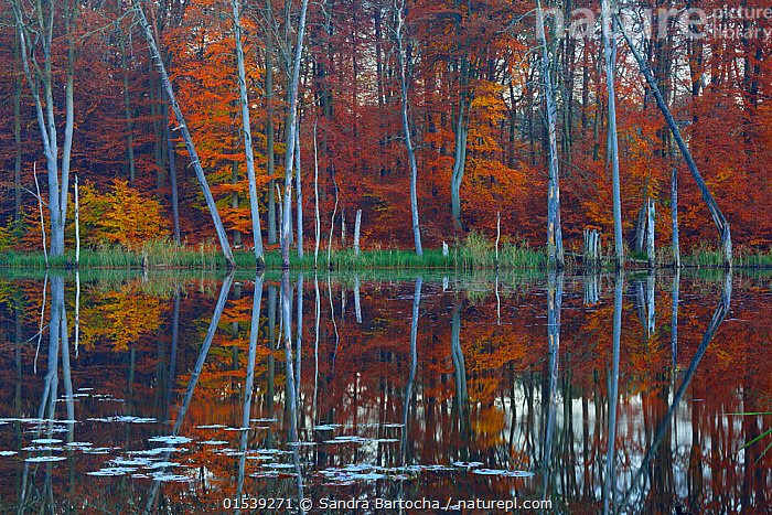 European beech (Fagus sylvatica) and Pines reflected in  Schweingartensee lake.Serrahn, Muritz-National Park, World Natural Heritage site, Germany, Europe. November 2015., Plant,Vascular plant,Flowering plant,Rosid,Beech tree,European beech tree,Plantae,Plant,Tracheophyta,Vascular plant,Magnoliopsida,Flowering plant,Angiosperm,Seed plant,Spermatophyte,Spermatophytina,Angiospermae,Fagales,Rosid,Dicot,Dicotyledon,Rosanae,Fagaceae,Fagus,Beech tree,Beech,Fagus sylvatica,European beech tree,Common beech,Castanea fagus,Fagus asplenifolia,Fagus cristata,Mood,Calm,Variation,Colour ,Orange ,Europe,Western Europe,Germany,Tree,Deciduous,Beech Tree,Beech Trees,Beeches,Evergreen Tree,Coniferous Tree,Conifers,Pine Tree,Pine,Pine Trees,Pines,True Pine,True Pines,Reflection,Autumn,Woodland,Freshwater,Lake,Water Surface,Water,Reserve,Forest,Protected area,UNESCO World Heritage Site,National Park,Hues,Conifer,World Natural Heritage Site,Muritz-National Park,Still water,Plants,Angiosperms,Spermatophytes,Rosids,Dicots,Dicotyledons,Beech trees,Beeches,Moods,Trees,Evergreens,Conifer Trees,Coniferous Trees,Woods,Forests,Woodlands,Lakes,Reserves,National parks,Colours,Colors,Plant,Vascular plant,Flowering plant,Rosid,Beech tree,European beech tree, catalogue9, Sandra Bartocha