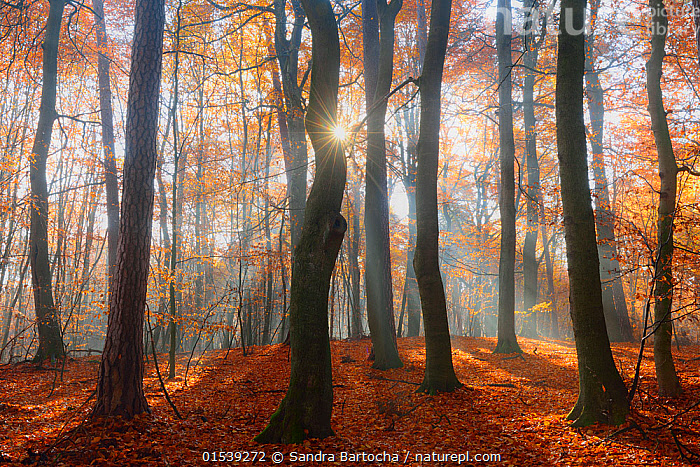 Sun rays  shining through  European beech woodland  (Fagus sylvatica). Serrahn, Muritz-National Park, World Natural Heritage site, Germany, Europe. November 2015.  ,  Plant,Vascular plant,Flowering plant,Rosid,Beech tree,European beech tree,Plantae,Plant,Tracheophyta,Vascular plant,Magnoliopsida,Flowering plant,Angiosperm,Seed plant,Spermatophyte,Spermatophytina,Angiospermae,Fagales,Rosid,Dicot,Dicotyledon,Rosanae,Fagaceae,Fagus,Beech tree,Beech,Fagus sylvatica,European beech tree,Common beech,Castanea fagus,Fagus asplenifolia,Fagus cristata,Atmospheric Mood,Mood,Calm,Silence,Quiet,Colour ,Orange ,Nobody,Europe,Western Europe,Germany,Lens Flare,Lens Flares,Back Lit,Leaf,Foliage,Tree Trunk,Tree,Deciduous,Beech Tree,Beech Trees,Beeches,Sunlight,Outdoors,Nature,Beauty In Nature,Woodland,Reserve,Forest,Protected area,UNESCO World Heritage Site,National Park,Sunlit,Natural Light,Fallen Leaves,World Natural Heritage Site,Serrahn,Muritz-National Park,Trunk,Plants,Angiosperms,Spermatophytes,Rosids,Dicots,Dicotyledons,Beech trees,Beeches,Moods,Leaves,Tree Trunks,Trees,Woods,Forests,Woodlands,Reserves,National parks,Colours,Colors,Trunks,Plant,Vascular plant,Flowering plant,Rosid,Beech tree,European beech tree,high16  ,  Sandra Bartocha