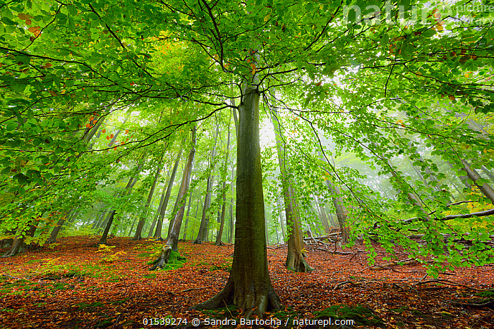 European beech tree (Fagus sylvatica). in woodland, Serrahn, Muritz-National Park, World Natural Heritage site, Germany, Europe. October 2015.  ,  Plant,Vascular plant,Flowering plant,Rosid,Beech tree,European beech tree,Plantae,Plant,Tracheophyta,Vascular plant,Magnoliopsida,Flowering plant,Angiosperm,Seed plant,Spermatophyte,Spermatophytina,Angiospermae,Fagales,Rosid,Dicot,Dicotyledon,Rosanae,Fagaceae,Fagus,Beech tree,Beech,Fagus sylvatica,European beech tree,Common beech,Castanea fagus,Fagus asplenifolia,Fagus cristata,Colour ,Green,Nobody,Europe,Western Europe,Germany,Unusual Angle,Branch,Branches,Leaf,Foliage,Tree,Deciduous,Beech Tree,Beech Trees,Beeches,Outdoors,Autumn,Nature,Beauty In Nature,Woodland,Reserve,Forest,Protected area,UNESCO World Heritage Site,National Park,Personal point of view,Fallen Leaves,Personal POV,World Natural Heritage Site,Serrahn,Muritz-National Park,Plants,Angiosperms,Spermatophytes,Rosids,Dicots,Dicotyledons,Beech trees,Beeches,Leaves,Trees,Woods,Forests,Woodlands,Reserves,National parks,Colours,Colors,Plant,Vascular plant,Flowering plant,Rosid,Beech tree,European beech tree,high16  ,  Sandra Bartocha