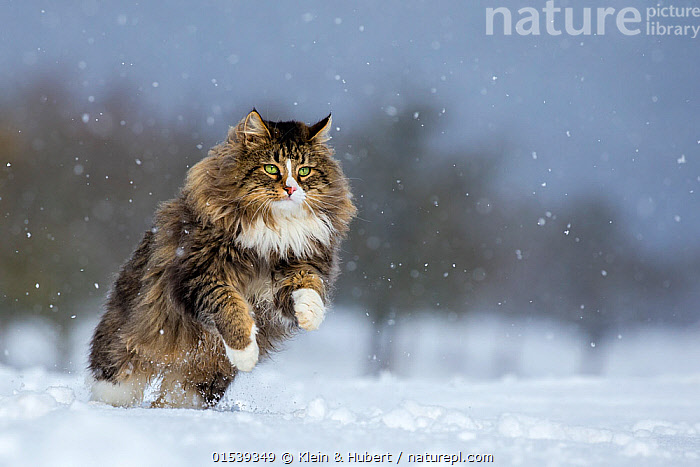 Domestic Tabby and white semi-longhaired cat (Felis silvestris catus) running in snow, France., Jumping,Running,Europe,Western Europe,France,Animal,Snow,Weather,Snowing,Snowfall,Outdoors,Open Air,Outside,Winter,Domestic animal,Pet,Domestic Cat,Cats,Pets,Domesticated,Felis catus,Cat,Tabby,Negative space,, Klein & Hubert
