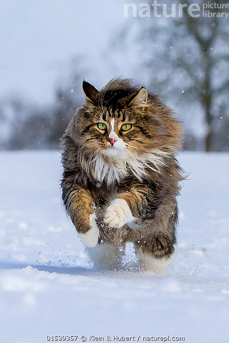 Tabby and white semi-longhaired cat (Felis silvestris catus) running in snow, France., Focus,Europe,Western Europe,France,Front View,Animal,Snow,Outdoors,Open Air,Outside,Winter,Animal Behaviour,Predation,Hunting,Domestic animal,Pet,Behaviour,Domestic Cat,Cats,Pets,Domesticated,Felis catus,Cat,Tabby,Focused,Pouncing,, Klein & Hubert