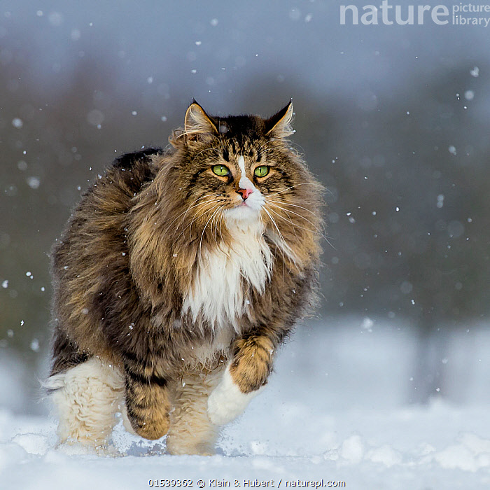 Domestic Tabby and white semi-longhaired cat (Felis silvestris catus) running in snow, France., Focus,Europe,Western Europe,France,Front View,Animal,Snow,Outdoors,Open Air,Outside,Winter,Animal Behaviour,Predation,Hunting,Domestic animal,Pet,Behaviour,Domestic Cat,Cats,Pets,Domesticated,Felis catus,Cat,Tabby,Focused,Pouncing,, Klein & Hubert