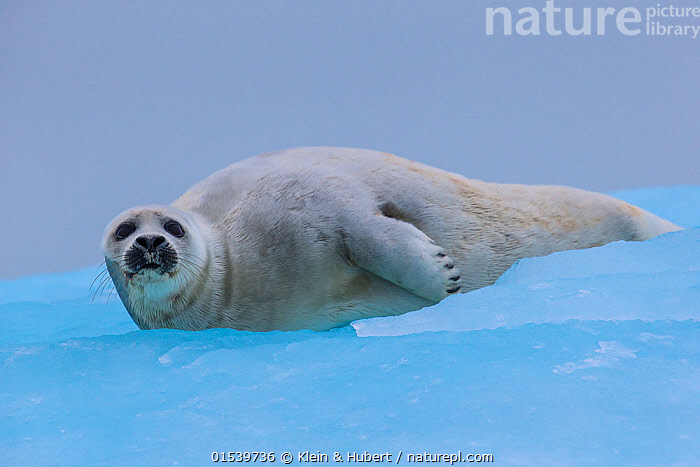 Ringed seal (Phoca hispida) resting on ice, Svalbard  ,  Animal,Vertebrate,Mammal,Carnivore,True seal,Fjord Seal,Arctic,Animalia,Animal,Wildlife,Vertebrate,Mammalia,Mammal,Carnivora,Carnivore,Phocidae,True seal,Pinnipeds,pinnipedia,Pusa,Pusa hispida,Fjord Seal,Jar Seal,Ringed Seal,Phoca hispida,Resting,Rest,Cute,Adorable,Europe,Northern Europe,North Europe,Nordic Countries,Scandinavia,Norway,Svalbard,Arctic,Polar,Copy Space,Cutout,Horizontal,Portrait,Ice,Cold Water,Coldwater,Direct Gaze,Negative space,Marine  ,  Klein & Hubert