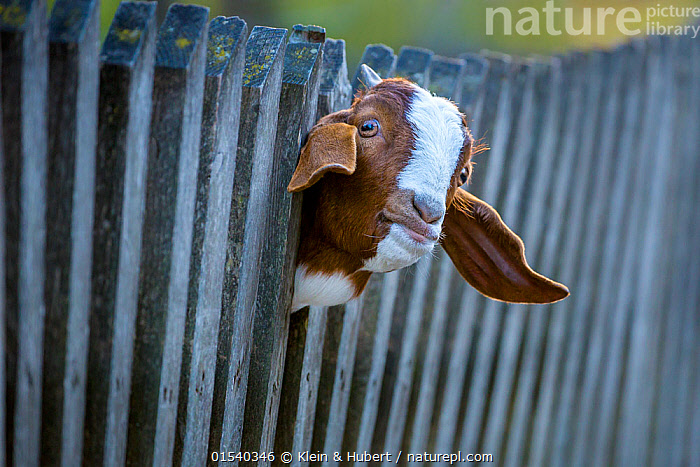 Boer goat (Capra aegagrus hircus) head portrait of kid looking through wooden fence, Germany., Trapped,Colour,Brown,Pattern,Patterned,Patterns,Stuck,Europe,Western Europe,Germany,Portrait,Animal,Boundary,Fence,Wood,Wooden,Livestock,Domestic animal,Domesticated,Domestic Goat,Goats,Boer,Capra aegagrus hircus,Animal marking,Animal portrait,Looking Through,Mammal,Mammals,Brown Colour,, Klein & Hubert