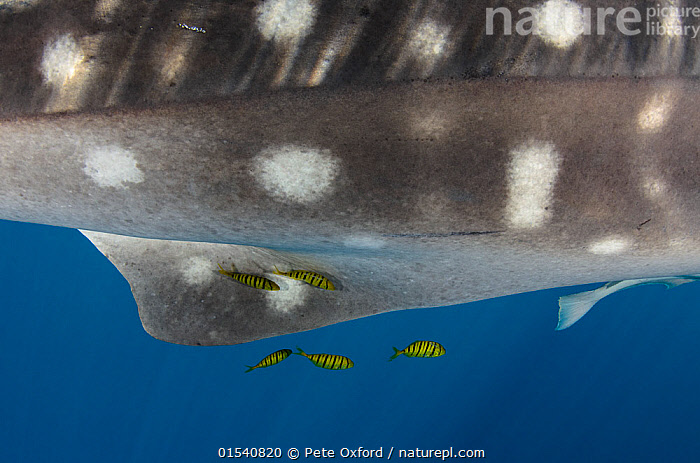 Whale Shark (Rhincodon typus) close up of spotted skin,  with Golden trevally (Gnathanodon speciosus) Cenderawasih Bay, West Papua,  Indonesia.  ,  Animal,Wildlife,Vertebrate,Cartilaginous fish,Carpet shark,Whale sharks,Whale shark,Ray-finned fish,Percomorphi,Jack,Golden trevally,Animalia,Animal,Wildlife,Vertebrate,Chondrichthyes,Cartilaginous fish,Jawed fish,Orectolobiformes,Carpet shark,Rhincodontidae,Whale sharks,Rhincodon,Rhincodon typus,Whale shark,Micristodus punctatus,Rhiniodon typus,Rhinodon typicus,Actinopterygii,Ray-finned fish,Osteichthyes,Bony fish,Fish,Perciformes,Percomorphi,Acanthopteri,Carangidae,Jack,Jack fishes,Contrasts,Scale ,Proportion,Pattern,Spotted,Stripes,Size,Small,Giant,Huge,Massive,Oceania,Melanesia,New Guinea,Ocean,Marine,Underwater,Water,Mixed species,Indo Pacific,Saltwater,Indonesia,Shark,Cenderawasih Bay,Gnathanodon,Gnathanodon speciosus,Golden trevally,Animals,Vertebrates,Chordates,Cartilaginous fishes,Jawed fishes,Carpet sharks,Sharks,Ray-finned fishes,Bony fishes,Fishes,Jacks,Spots,Oceans,Animal,Wildlife,Vertebrate,Cartilaginous fish,Carpet shark,Whale sharks,Whale shark,Ray-finned fish,Percomorphi,Jack,Golden trevally,high16  ,  Pete Oxford