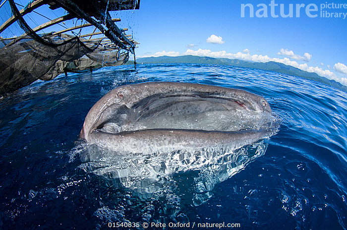 Whale Shark (Rhincodon typus) feeding at Bagan (floating fishing platform),  Cenderawasih Bay, West Papua, Indonesia. Winner of the Man and Nature Portfolio Award in the Terre Sauvage Nature Images Awards Competition 2015.  ,  Animal,Wildlife,Vertebrate,Cartilaginous fish,Carpet shark,Whale sharks,Whale shark,Animalia,Animal,Wildlife,Vertebrate,Chondrichthyes,Cartilaginous fish,Jawed fish,Orectolobiformes,Carpet shark,Rhincodontidae,Whale sharks,Rhincodon,Rhincodon typus,Whale shark,Micristodus punctatus,Rhiniodon typus,Rhinodon typicus,Oceania,Melanesia,New Guinea,Mouth,Boat,Ocean,Outdoors,Marine,Water,Feeding,Open boat,Outrigger,Indo Pacific,Saltwater,Indonesia,Fishing,Shark,Surface,Bagan,Fish Eye Lens,Cenderawasih Bay,Animals,Vertebrates,Chordates,Cartilaginous fishes,Jawed fishes,Carpet sharks,Sharks,Mouths,Boats,Oceans,Open-boats,Outriggers,Animal,Wildlife,Vertebrate,Cartilaginous fish,Carpet shark,Whale sharks,Whale shark,high16  ,  Pete Oxford