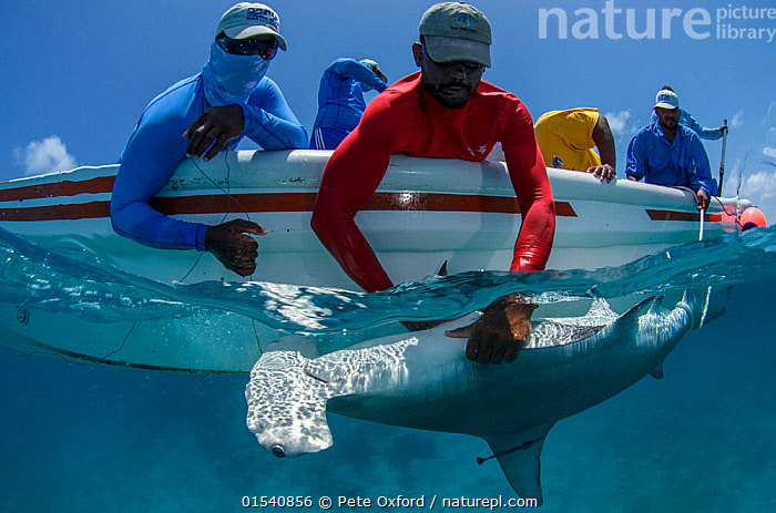 MAR Alliance researchers with Great Hammerhead shark Sphyrna mokarran) captured for scientific research, Lighthouse Reef Atoll, Belize.  May 2015., Animal,Wildlife,Vertebrate,Cartilaginous fish,Ground shark,Hammerhead sharks,Great Hammerhead,Animalia,Animal,Wildlife,Vertebrate,Chondrichthyes,Cartilaginous fish,Jawed fish,Carcharhiniformes,Ground shark,Sphyrnidae,Hammerhead sharks,Hammerheads,Sphyrna,Sphyrna mokarran,Great Hammerhead,Hammerhead Shark,Squat-headed Hammerhead Shark,Zygaena dissimilis,Zygaena mokarran,Sphyrna ligo,People,Scientist,Scientists,Natural Science,Life Science,Biology,Research,Researching,Latin America,South America,Belize,Central America,Tropical,Ocean,Caribbean Sea,Science,Marine,Split level,Water,Conservation,Saltwater,Biodiversity hotspots,Biodiversity hotspot,Meso-america,Shark,Researcher,Monitoring,Animals,Vertebrates,Chordates,Cartilaginous fishes,Jawed fishes,Ground sharks,Hammerheads,Sharks,Oceans,Animal,Wildlife,Vertebrate,Cartilaginous fish,Ground shark,Hammerhead sharks,Great Hammerhead,high16, Pete Oxford