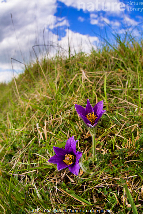 Pasque flower (Pulsatilla vulgaris) flowering on hillside, Pasqueflower Gloucestershire Wildlife Trust (GWT) nature reserve, UK. April.  ,  Plant,Vascular plant,Flowering plant,Dicot,European pasque flower,Plantae,Plant,Tracheophyta,Vascular plant,Magnoliopsida,Flowering plant,Angiosperm,Seed plant,Spermatophyte,Spermatophytina,Angiospermae,Ranunculales,Dicot,Dicotyledon,Ranunculanae,Ranunculaceae,Pulsatilla,Pulsatilla vulgaris,European pasque flower,European pasqueflower,Pasque flower,Common pasque flower,Dane's blood,Anemone pulsatilla,Colour,Purple,Two,Europe,Western Europe,UK,Great Britain,England,Gloucestershire,Cotswolds,Close Up,Flower,Flowers,Hill,Hills,Hillside,Hillsides,Nature,Natural,Natural World,Nature Reserve,Conservation,Two Objects,Conservation organisation,Wildlife Trust,Cotswolds AONB,  ,  Nick Turner