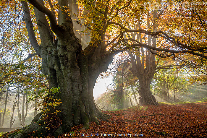 Ancient Beech trees (Fagus sylvatica), Lineover Wood, Gloucestershire UK. The second largest Beech tree in England in the foreground. November 2015., Plant,Vascular plant,Flowering plant,Rosid,Beech tree,European beech tree,Plantae,Plant,Tracheophyta,Vascular plant,Magnoliopsida,Flowering plant,Angiosperm,Seed plant,Spermatophyte,Spermatophytina,Angiospermae,Fagales,Rosid,Dicot,Dicotyledon,Rosanae,Fagaceae,Fagus,Beech tree,Beech,Fagus sylvatica,European beech tree,Common beech,Castanea fagus,Fagus asplenifolia,Fagus cristata,Atmospheric Mood,Mood,Calm,Ancient,Nobody,Size,Large,Europe,Western Europe,UK,Great Britain,England,Gloucestershire,Cotswolds,Branch,Branches,Leaf,Foliage,Tree,Deciduous,Beech Tree,Beech Trees,Beeches,Sunlight,Outdoors,Autumn,Nature,Beauty In Nature,Countryside,Woodland,Forest,Fallen Leaves,Cotswolds AONB,Plants,Angiosperms,Spermatophytes,Rosids,Dicots,Dicotyledons,Beech trees,Beeches,Moods,Leaves,Trees,Woods,Forests,Woodlands,Plant,Vascular plant,Flowering plant,Rosid,Beech tree,European beech tree,high16, Nick Turner