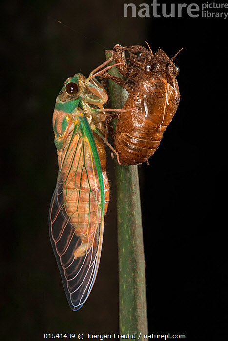 Nature Picture Library - Cicada (Cicacidae) newly
