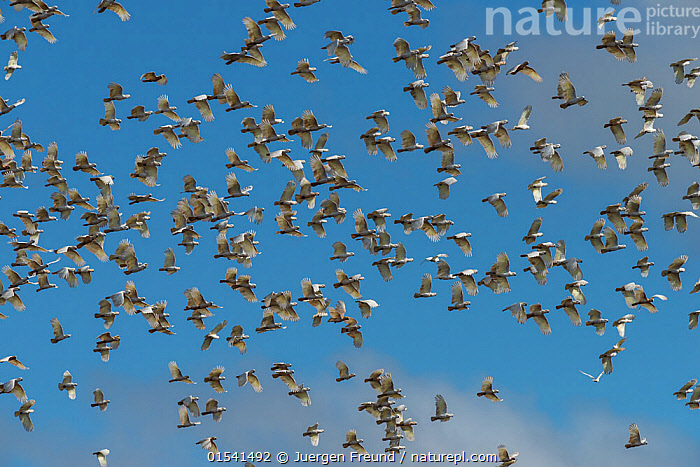 Huge flock of Sulphur-crested Cockatoo (Cacatua galerita)  flying after eating / digging peanuts from the newly ploughed fields. Atherton Tablelands, Queensland,Australia.  ,  Animal,Vertebrate,Bird,Birds,Parrot,Cockatoo,Cacatuinae,Sulphur crested cockatoo,Animalia,Animal,Wildlife,Vertebrate,Aves,Bird,Birds,Psittaciformes,Parrot,Psittacines,Cacatuidae,Cockatoo,Cacatuoidea,Cacatua,Cacatuinae,Cacatuini,Cacatua galerita,Sulphur crested cockatoo,Greater sulphur crested cockatoo,Flying,Group Of Animals,Flock,Group,Australasia,Australia,Queensland,  ,  Jurgen Freund