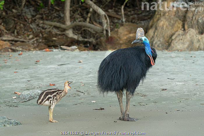 Cassowary (Casuarius casuarius) father and chick walking on beach. Far North Queensland, Queensland, Australia.  ,  Animal,Vertebrate,Bird,Birds,Cassowary,Southern cassowary,Animalia,Animal,Wildlife,Vertebrate,Aves,Bird,Birds,Casuariiformes,Casuariidae,Cassowary,Casuarius,Casuarius casuarius,Southern cassowary,Double wattled cassowary,Two wattled cassowary,Australian cassowary,Australasia,Australia,Queensland,Young Animal,Juvenile,Babies,Chick,Family,Father Baby,Parent baby,Endangered species,threatened,Vulnerable  ,  Jurgen Freund