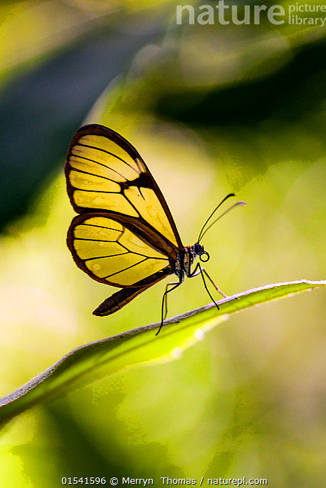 Nature Picture Library Glasswinged Butterfly Greta Oto Rumi