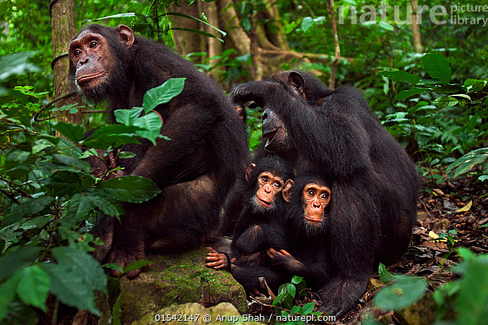 Eastern chimpanzee (Pan troglodytes schweinfurtheii) female 'Gremlin' aged 41 years grooms her daughter 'Golden' aged 14 years while their infants 'Gizmo' aged 3 years and 'Glamma' aged 9 months sit between them. Gombe National Park, Tanzania. May 2012., Animal,Wildlife,Vertebrate,Mammal,Ape,Great ape,Chimpanzee,Eastern chimpanzee,Animalia,Animal,Wildlife,Vertebrate,Mammalia,Mammal,Primate,Primates,Hominidae,Ape,Great ape,Hominoidea,Pan,Pan troglodytes,Chimpanzee,Common Chimpanzee,Nobody,Africa,East Africa,Tanzania,Young Animal,Baby,Female animal,Outdoors,Rainforest,Reserve,Forest,Family,Mother baby,Mother,Eastern chimpanzee,Protected area,National Park,Parent baby,Animals,Vertebrates,Chordates,Mammals,Apes,Juveniles,Young Animals,Baby Animals,Forests,Families,Reserves,Babies,National parks,Rainforests,Female Animals,Animal,Wildlife,Vertebrate,Mammal,Ape,Great ape,Chimpanzee,Eastern chimpanzee,high16, Anup Shah