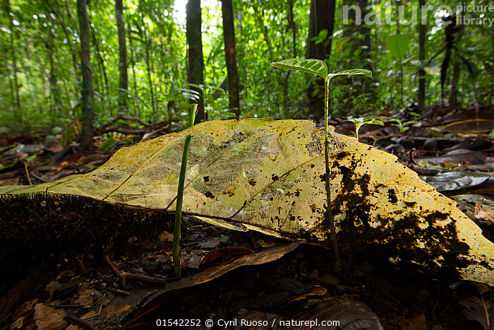 Nature Picture Library Skeleton Leaf On The Forest Floor With