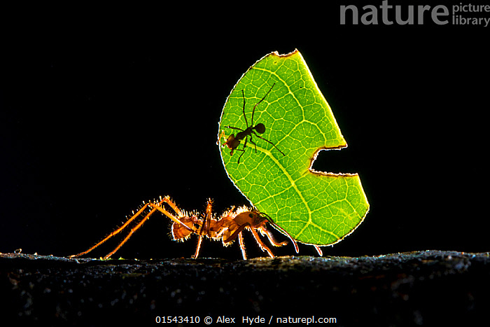 Leaf-cutter ant (Atta cephalotes) carrying pieces of leaf that they have harvested back to their underground fungus garden in their nest, Osa Peninsula, Costa Rica, Animal,Wildlife,Arthropod,Insect,Ant,Leafcutter ant,Animalia,Animal,Wildlife,Hexapoda,Arthropod,Invertebrate,Hexapod,Arthropoda,Insecta,Insect,Hymenoptera,Formicidae,Ant,Atta,Leafcutter ant,Leaf cutter ant,Fungus growing ant,Atta cephalotes,Formica cephalotes,Oecodoma cephalotes,Effort,Exertion,Trying,Strength,Latin America,Central America,Costa Rica,Copy Space,Plain Background,Black Background,Profile,Horizontal,Side View,Plant,Leaf,Foliage,Tropical,Rainforest,Tropical rainforest,Animal Behaviour,Reserve,Forest,Biodiversity hotspot,Protected area,Negative space,Animals,Arthropods,Invertebrates,Hexapods,Insects,Ants,Leafcutter ants,Leaf cutter ant,Fungus growing ants,Copy Spaces,Leaves,Forests,Hotspots,Reserves,Rainforests,Animal,Wildlife,Arthropod,Insect,Ant,Leafcutter ant,high16, Alex  Hyde