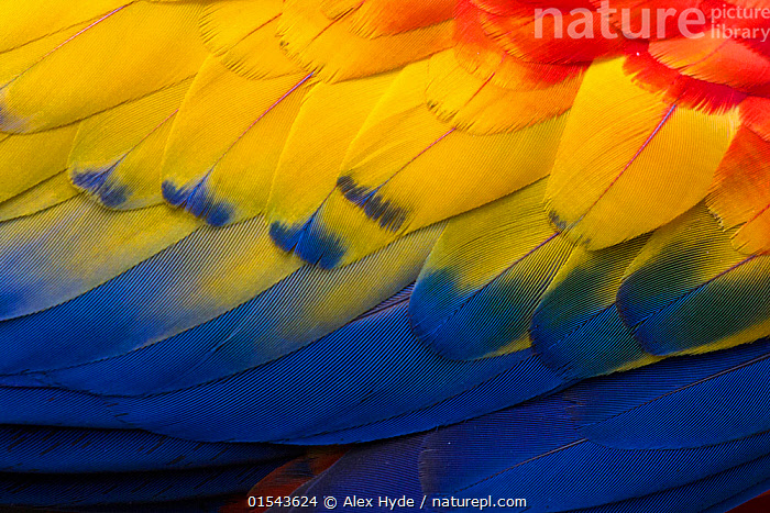 RF - Close up of feathers of a Scarlet Macaw (Ara macao) Osa Peninsula, Costa Rica. (This image may be licensed either as rights managed or royalty free.)  ,  Animal,Vertebrate,Bird,Birds,Parrot,True parrot,Macaw,Scarlet macaw,Animalia,Animal,Wildlife,Vertebrate,Aves,Bird,Birds,Psittaciformes,Parrot,Psittacines,Psittacidae,True parrot,Psittacoidea,Ara,Macaw,Neotropical parrots,Arini,Arinae,Ara macao,Scarlet macaw,Colour,Blue,Yellow,Nobody,Vibrant Colour,Latin America,Central America,Costa Rica,Full Frame,Close Up,Feather,Day,Backgrounds,Background,Nature,Wild,Rainforest,Tropical rainforest,Forest,Biodiversity hotspot,Plumage,RF,Royalty free,RFCAT1,RF16Q4,  ,  Alex  Hyde