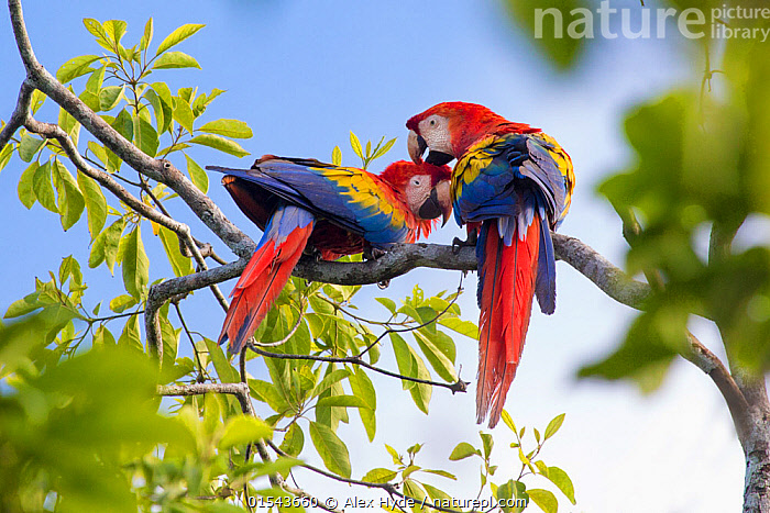 RF - Scarlet macaw (Ara macao) pair preening, Osa Peninsula, Costa Rica. (This image may be licensed either as rights managed or royalty free.)  ,  Animal,Vertebrate,Bird,Birds,Parrot,True parrot,Macaw,Scarlet macaw,Animalia,Animal,Wildlife,Vertebrate,Aves,Bird,Birds,Psittaciformes,Parrot,Psittacines,Psittacidae,True parrot,Psittacoidea,Ara,Macaw,Neotropical parrots,Arini,Arinae,Ara macao,Scarlet macaw,Grooming,Preen,Preens,Friendship,Colour,Red,Colourful,Two,Nobody,Affectionate,Affection,Latin America,Central America,Costa Rica,Rear View,Plant,Branch,Branches,Feather,Day,Nature,Wild,Rainforest,Tropical rainforest,Animal Behaviour,Forest,Behaviour,Biodiversity hotspot,Plumage,Two animals,RF,Royalty free,RFCAT1,RF16Q4,  ,  Alex  Hyde