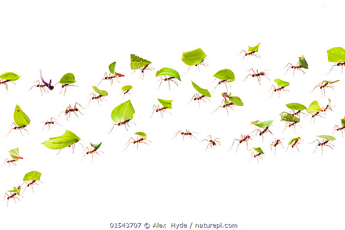 Leaf-cutter ants (Atta cephalotes) carrying pieces of leaf that they have harvested back to their underground fungus garden in their nest, Osa Peninsula, Costa Rica. Photographed in mobile field studio on a white background. Digital composite image, Animal,Wildlife,Arthropod,Insect,Ant,Leafcutter ant,Animalia,Animal,Wildlife,Hexapoda,Arthropod,Invertebrate,Hexapod,Arthropoda,Insecta,Insect,Hymenoptera,Formicidae,Ant,Atta,Leafcutter ant,Leaf cutter ant,Fungus growing ant,Atta cephalotes,Formica cephalotes,Oecodoma cephalotes,Strength,Group Of Animals,Animal Colony,Group,Latin America,Central America,Costa Rica,Cutout,Plain Background,White Background,Horizontal,Composite Image,Composite Images,Digital Composite,Plant,Leaf,Foliage,Tropical,Indoors,Studio Shot,Animal Behaviour,Biodiversity hotspot,Animals,Arthropods,Invertebrates,Hexapods,Insects,Ants,Leafcutter ants,Leaf cutter ant,Fungus growing ants,Animal Colonies,Colonies,Colony,Groups,Leaves,Studio Shots,Hotspots,Animal,Wildlife,Arthropod,Insect,Ant,Leafcutter ant, catalogue9, Alex  Hyde