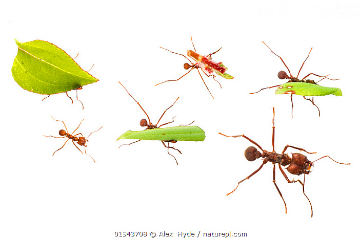 Leaf-cutter ants (Atta cephalotes) carrying pieces of leaf that they have harvested back to their underground fungus garden in their nest, Osa Peninsula, Costa Rica. Photographed in mobile field studio on a white background. Digital composite image  ,  Animal,Wildlife,Arthropod,Insect,Ant,Leafcutter ant,Animalia,Animal,Wildlife,Hexapoda,Arthropod,Invertebrate,Hexapod,Arthropoda,Insecta,Insect,Hymenoptera,Formicidae,Ant,Atta,Leafcutter ant,Leaf cutter ant,Fungus growing ant,Atta cephalotes,Formica cephalotes,Oecodoma cephalotes,Busy,Group Of Animals,Animal Colony,Group,Latin America,Central America,Costa Rica,Cutout,Plain Background,White Background,Horizontal,Composite Image,Composite Images,Digital Composite,Plant,Tropical,Indoors,Studio Shot,Animal Behaviour,Biodiversity hotspot,Animals,Arthropods,Invertebrates,Hexapods,Insects,Ants,Leafcutter ants,Leaf cutter ant,Fungus growing ants,Animal Colonies,Colonies,Colony,Groups,Studio Shots,Hotspots,Animal,Wildlife,Arthropod,Insect,Ant,Leafcutter ant,high16  ,  Alex  Hyde