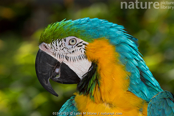 Blue and gold macaw (Ara ararauna), captive,  occurs in South America., Animal,Vertebrate,Bird,Birds,Parrot,True parrot,Macaw,Blue and yellow macaw,Animalia,Animal,Wildlife,Vertebrate,Aves,Bird,Birds,Psittaciformes,Parrot,Psittacines,Psittacidae,True parrot,Psittacoidea,Ara,Macaw,Neotropical parrots,Arini,Arinae,Ara ararauna,Blue and yellow macaw,Blue and gold macaw,Colour,Blue,Yellow,Profile,Side View,Portrait,Blue Colour,Yellow Colour,, Lynn M Stone