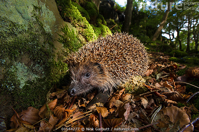 European or Common hedgehog (Erinaceus europaeus) foraging in leaf litter. Isle of Mull, Scotland, UK, June.  ,  Animal,Vertebrate,Mammal,Hedgehog,European Hedgehog,Animalia,Animal,Wildlife,Vertebrate,Mammalia,Mammal,Erinaceomorpha,Erinaceidae,Hedgehog,Erinaceus,Erinaceus europaeus,European Hedgehog,Western European Hedgehog,Western Hedgehog,Europe,Western Europe,UK,Great Britain,Scotland,Low Angle View,Woodland,Forest,  ,  Nick Garbutt