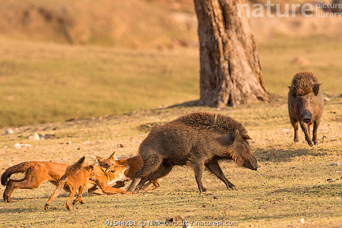 Nature Picture Library - Indian Wild Dogs or Dhole (Cuon