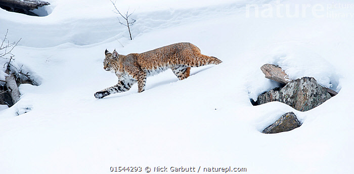 North American bobcat (Lynx rufus) striding through deep snow. Madison River Valley, Yellowstone National Park, Wyoming, USA. January, Animal,Wildlife,Vertebrate,Mammal,Carnivore,Cat,Lynx,American bobcat,American,Animalia,Animal,Wildlife,Vertebrate,Mammalia,Mammal,Carnivora,Carnivore,Felidae,Cat,Lynx,Lynx rufus,American bobcat,Felis rufus,Walking,North America,USA,Western USA,Wyoming,Profile,Side View,Snow,Winter,Reserve,Protected area,National Park,Yellowstone National Park,American,United States of America,Animals,Vertebrates,Chordates,Mammals,Carnivores,Cats,Lynxes,Reserves,National parks,Animal,Wildlife,Vertebrate,Mammal,Carnivore,Cat,Lynx,American bobcat,American, catalogue9, Nick Garbutt