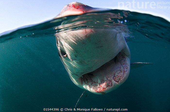 Great white shark (Carcharodon carcharias) split level view, New Zealand, March.  ,  Animal,Wildlife,Vertebrate,Cartilaginous fish,Mackeral shark,Great white shark,Animalia,Animal,Wildlife,Vertebrate,Chondrichthyes,Cartilaginous fish,Jawed fish,Lamniformes,Mackeral shark,Elasmobranchii,Elasmobranches,Lamnidae,Carcharodon,Carcharodon carcharias,Great white shark,Squalus lamia,Carcharodon smithii,Carcharias atwoodi,Danger,Scare,Scary,Australasia,New Zealand,Close Up,Low Angle View,Ocean,Pacific Ocean,Marine,Underwater,Split level,Water,Temperate,Saltwater,Biodiversity hotspot,Shark,Animals,Vertebrates,Chordates,Cartilaginous fishes,Jawed fishes,Mackeral sharks,Sharks,Closeups,Teeth,Oceans,Close-ups,Hotspots,Close ups,Animal,Wildlife,Vertebrate,Cartilaginous fish,Mackeral shark,Great white shark,high16  ,  Chris & Monique Fallows