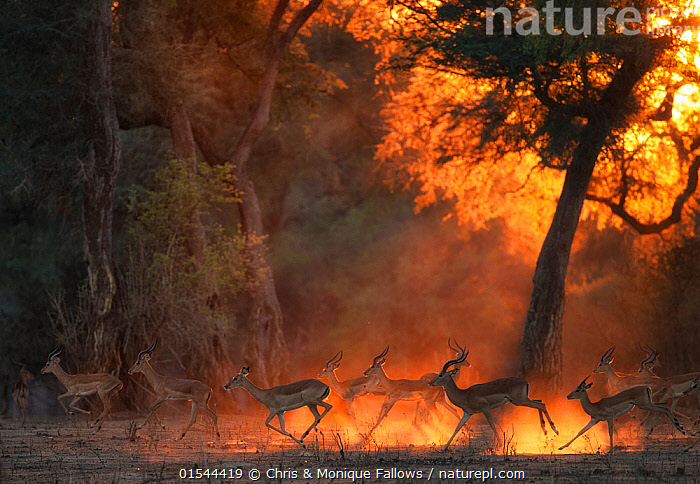 Impala (Aepyceros melampus) herd at dawn, Mana Pools National Park, Zimbabwe, October., Animal,Wildlife,Vertebrate,Mammal,Bovid,Impala,Black-faced Impala,Animalia,Animal,Wildlife,Vertebrate,Mammalia,Mammal,Artiodactyla,Even-toed ungulates,Bovidae,Bovid,ruminantia,Ruminant,Aepyceros,Impala,Aepyceros melampus,Black-faced Impala,Running,Atmospheric Mood,Colour ,Golden,Group Of Animals,Herd,Group,Africa,East Africa,Zimbabwe,Back Lit,Mist,Sunrise,Nature,Beauty In Nature,Reserve,Protected area,National Park,Dawn,Moving,Mana Pools National Park,Movement,Animals,Vertebrates,Chordates,Mammals,Bovids,Ruminants,Impalas,Groups,Sunrises,Reserves,National parks,Colours,Colors,Animal,Wildlife,Vertebrate,Mammal,Bovid,Impala,Black-faced Impala,high16, Chris & Monique Fallows