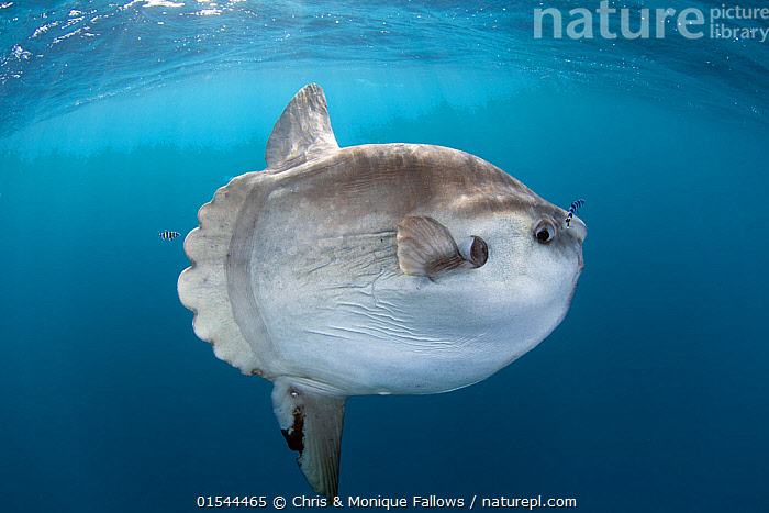 Sunfish (Mola mola) at Cape Point, South Africa.  ,  Animal,Vertebrate,Ray-finned fish,Plectognathi,Ocean sunfish,Animalia,Animal,Wildlife,Vertebrate,Actinopterygii,Ray-finned fish,Osteichthyes,Bony fish,Fish,Tetraodontiformes,Plectognathi,Molidae,Mola,Mola mola,Ocean sunfish,Giant sunfish,Moonfish,Tetraodon mola,Diodon mola,Orthragoriscus fasciatus,Africa,Southern Africa,South Africa,Ocean,Atlantic Ocean,Marine,Underwater,Water,Saltwater,South African,Marine  ,  Chris & Monique Fallows
