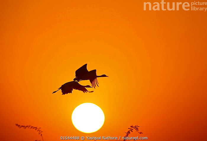 Demoiselle crane (Anthropoides virgo) pair flying at sunrise during winter migration. Western Rajasthan, India. December., Animal,Vertebrate,Bird,Birds,Crane,Demoiselle crane,Demoiselle Crane,Animalia,Animal,Wildlife,Vertebrate,Aves,Bird,Birds,Gruiformes,Gruidae,Crane,Grus,Anthropoides,Anthropoides virgo,Demoiselle crane,Ardea virgo,Grus ornata,Migrating,Flying,Two,Asia,Indian Subcontinent,India,Back Lit,Animal Behaviour,Silhouette,Behaviour,Dawn,Rajasthan,Grus virgo,Demoiselle Crane,Chilou,, Yashpal Rathore