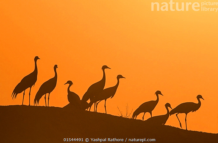 Demoiselle cranes (Anthropoides virgo) silhouetted at dusk on a wall during their winter migration.Khichan, Western Rajasthan, India. February., Animal,Vertebrate,Bird,Birds,Crane,Demoiselle crane,Demoiselle Crane,Animalia,Animal,Wildlife,Vertebrate,Aves,Bird,Birds,Gruiformes,Gruidae,Crane,Grus,Anthropoides,Anthropoides virgo,Demoiselle crane,Ardea virgo,Grus ornata,Migrating,Group Of Animals,Flock,Group,Asia,Indian Subcontinent,India,Back Lit,Animal Behaviour,Silhouette,Behaviour,Dawn,Rajasthan,Grus virgo,Demoiselle Crane,Chilou,, Yashpal Rathore