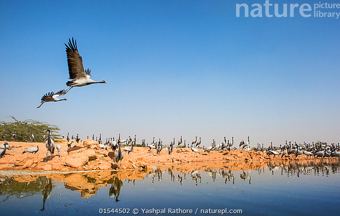 Demoiselle crane (Anthropoides virgo) pair flying over water whilst others rest during winter migration, Western Rajasthan, India. December., Animal,Vertebrate,Bird,Birds,Crane,Demoiselle crane,Demoiselle Crane,Animalia,Animal,Wildlife,Vertebrate,Aves,Bird,Birds,Gruiformes,Gruidae,Crane,Grus,Anthropoides,Anthropoides virgo,Demoiselle crane,Ardea virgo,Grus ornata,Migrating,Flying,Group Of Animals,Flock,Group,Large Group,Asia,Indian Subcontinent,India,Reflection,Water,Animal Behaviour,Behaviour,Multitude,Rajasthan,Grus virgo,Demoiselle Crane,Chilou,, Yashpal Rathore